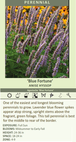 'Blue Fortune' ANISE HYSSOP Agastache 'Blue Fortune' One of the easiest and longest blooming perennials to grow. Lavender blue flower spikes appear atop strong, upright stems above the fragrant, green foliage. This tall perennial is best for the middle to rear of the border.   EXPOSURE: Full Sun BLOOMS: Midsummer to Early Fall HEIGHT: 24-36 in SPACE: 18-24 in ZONE: 4-9