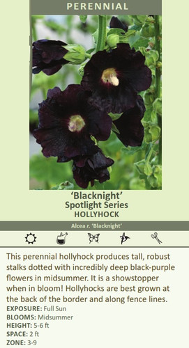 Blacknight' Spotlight Series HOLLYHOCK Alcea r. 'Blacknight' This perennial hollyhock produces tall, robust stalks dotted with incredibly deep black-purple flowers in midsummer. It is a showstopper when in bloom! Hollyhocks are best grown at the back of the border and along fence lines.  EXPOSURE: Full Sun BLOOMS: Midsummer HEIGHT: 5-6 ft SPACE: 2 ft ZONE: 3-9
