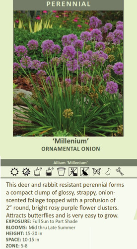 Millenium' ORNAMENTAL ONION Allium 'Millenium' This deer and rabbit resistant perennial forms a compact clump of glossy, strappy, onion scented foliage topped with a profusion of 2 inch?????????????????????????????????????? round, bright rosy purple flower clusters. Attracts butterflies and is very easy to grow. EXPOSURE: Full Sun to Part Shade BLOOMS: Mid thru Late Summer HEIGHT: 15-20 in SPACE: 10-15 in ZONE: 5-8