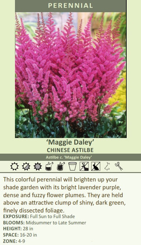 'Maggie Daley' CHINESE ASTILBE Astilbe c. 'Maggie Daley' This colorful perennial will brighten up your shade garden with its bright lavender purple, dense and fuzzy flower plumes. They are held above an attractive clump of shiny, dark green, finely dissected foliage. EXPOSURE: Full Sun to Full Shade BLOOMS: Midsummer to Late Summer HEIGHT: 28 in SPACE: 16-20 in ZONE: 4-9