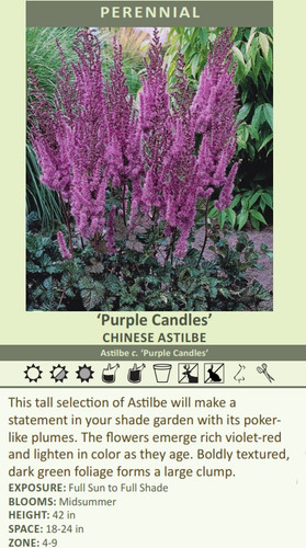'Purple Candles' CHINESE ASTILBE Astilbe c. 'Purple Candles' This tall selection of Astilbe will make a statement in your shade garden with its poker like plumes. The flowers emerge rich violet-red and lighten in color as they age. Boldly textured, dark green foliage forms a large clump. EXPOSURE: Full Sun to Full Shade BLOOMS: Midsummer HEIGHT: 42 in SPACE: 18-24 in ZONE: 4-9
