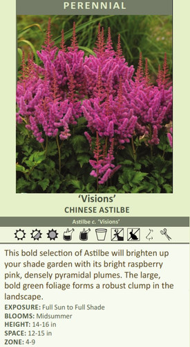 Visions' CHINESE Astilbe Astilbe c. 'Visions' This bold selection of Astilbe will brighten up your shade garden with its bright raspberry pink, densely pyramidal plumes. The large, bold green foliage forms a robust clump in the landscape.  EXPOSURE: Full Sun to Full Shade BLOOMS: Midsummer HEIGHT: 14-16 in SPACE: 12-15 in ZONE: 4-9
