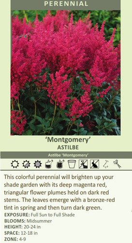 Montgomery' Astilbe Astilbe 'Montgomery' This colorful perennial will brighten up your shade garden with its deep magenta red, triangular flower plumes held on dark red stems. The leaves emerge with a bronze-red tint in spring and then turn dark green.  EXPOSURE: Full Sun to Full Shade BLOOMS: Midsummer HEIGHT: 20-24 in SPACE: 12-18 in ZONE: 4-9