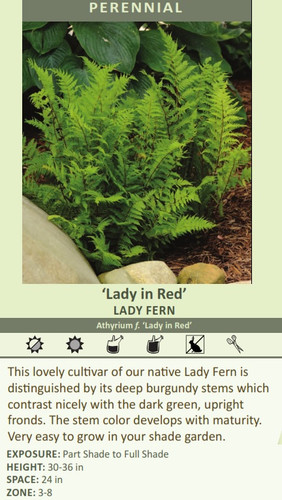 Lady in Red' LADY FERN Athyrium f. 'Lady in Red' This lovely cultivar of our native Lady is distinguished by its deep burgundy stems which contrast nicely with the dark green, upright fronds. The stem color develops with maturity. Very easy to grow in your shade garden. EXPOSURE: Part Shade to Full Shade HEIGHT: 30-36 in SPACE: 24 in ZONE: 3-8