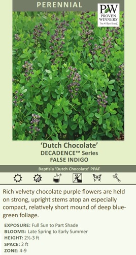 Dutch Chocolate' DECADENCE Series FALSE INDIGO Baptisia 'Dutch Chocolate' PPAF Rich velvety chocolate purple flowers are held on strong, upright stems atop an especially compact, relatively short mound of deep bluegreen foliage. EXPOSURE: Full Sun to Part Shade BLOOMS: Late Spring to Early Summer HEIGHT: 2-3 ft SPACE: 2 ft ZONE: 4-9