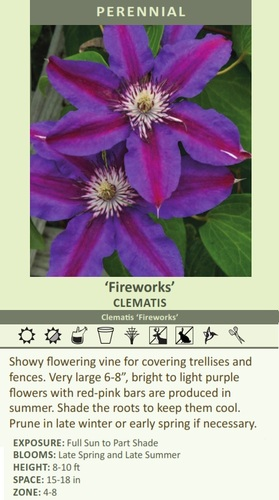 Fireworks' CLEMATIS Clematis 'Fireworks' Showy flowering vine for covering trellises and fe????????????????????????????????, bright to light purple flowers with red-pink bars are produced in summer. Shade the roots to keep them cool. Prune in late winter or early spring if necessary. EXPOSURE: Full Sun to Part Shade BLOOMS: Late Spring and Late Summer HEIGHT: 8-10 ft SPACE: 15-18 in ZONE: 4-8