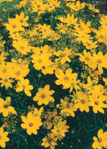 Coreopsis 'Zagreb' offer compact needle like foliage with star shape golden-yellow flowers all summer.  Hardy from zone 4-9
