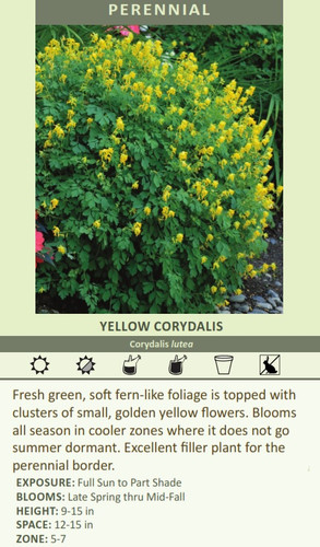 YELLOW CORYDALIS Corydalis lutea Fresh green, soft fern-like foliage is topped with clusters of small, golden yellow flowers. Blooms all season in cooler zones where it does not go summer dormant. Excellent filler plant for the perennial border. EXPOSURE: Full Sun to Part Shade BLOOMS: Late Spring thru Mid-Fall HEIGHT: 9-15 in SPACE: 12-15 in ZONE: 5-7