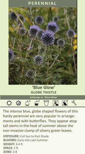 'Blue Glow' GLOBE THISTLE Echinops b. 'Blue Glow' The intense blue, globe shaped flowers of this hardy perennial are very popular in arrangements and with butterflies. They appear atop tall stems in the heat of summer above the non-invasive clump of silvery green leaves. EXPOSURE: Full Sun to Part Shade BLOOMS: Early into Late Summer HEIGHT: 3-4 ft SPACE: 2 ft ZONE: 3-8
