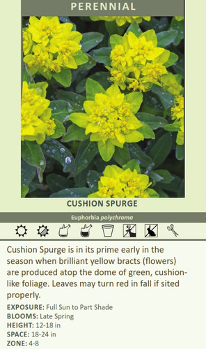 CUSHION SPURGE Euphorbia polychroma Cushion Spurge is in its prime early in the season when brilliant yellow bracts (flowers) are produced atop the dome of green, cushion-like foliage. Leaves may turn red in fall if sited properly. EXPOSURE: Full Sun to Part Shade BLOOMS: Late Spring HEIGHT: 12-18 in SPACE: 18-24 in ZONE: 4-8