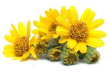 arnica-montana-flower-photo-page.jpg