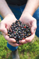 "Black Currants ""in the Raw""- Frozen- 5lb @ $4.99lb"