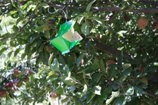 Codling Moth Trap hanging in tree