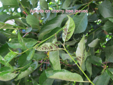 Aphids on Cherry leaves (prior to PredaLure)