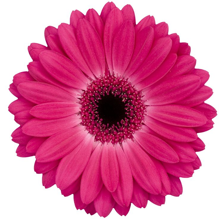 Hot pink flowers pictures images flower decoration ideas hot pink flowers pictures image collections flower decoration ideas fabric only no paper ribbon to protect mightylinksfo Choice Image