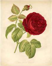 Red rose botanical picture