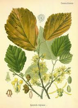 Witch hazel picture