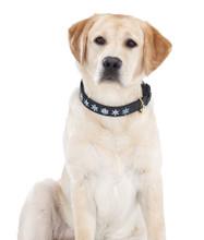 Halo Snowflake Leather Dog Collar - on yellow lab