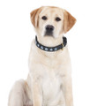 Halo Snowflake Leather Dog Collar - on yellow lab