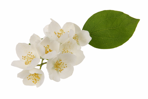 Jasmine - Alcohol Free Floral Perfume Oil