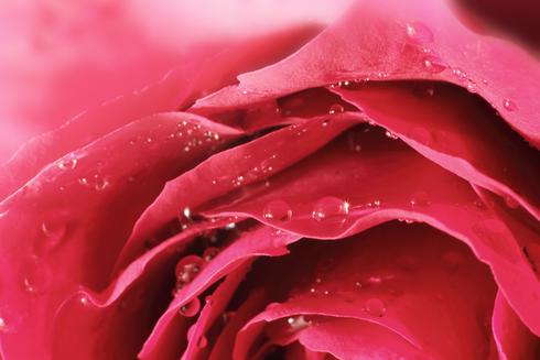 Rose by #AttarMistUK