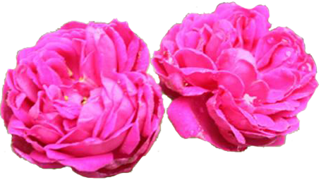 Warda Taif - Rose from the Valley of Taif By Attar Mist