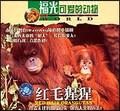 可爱的动物—红毛猩猩