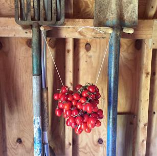 A grappoli d'inverno tomato seed