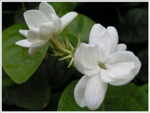 Gardenia Lily Lotion