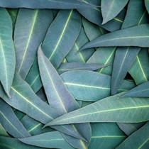 Bergamot Eucalyptus  Sea Scrub