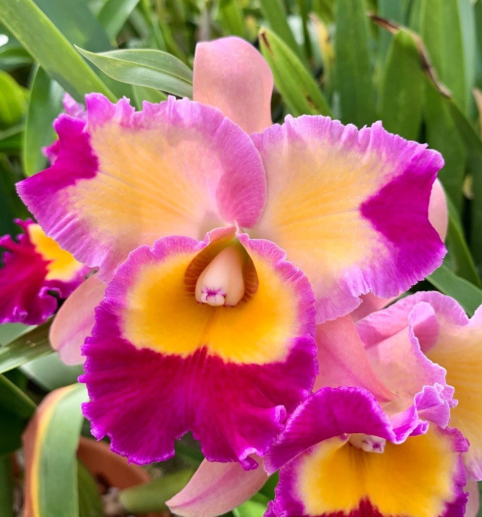 """Potinara Dick Smith /'Paradise/' Cattleya Type Orchid Plant in 3.5/"""" Pot"""