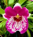 Miltoniopsis Morris Chestnut '171'