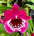 Miltoniopsis Morris Chestnut 'Vivian'