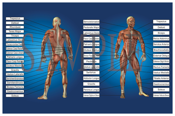 muscle-chart-with-labels-2015-small1.jpg