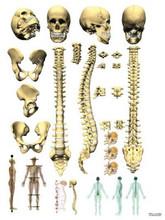 SpineSkullPelvisAnatomy