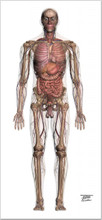 Male Anatomy AP Chart Life-Sized Collection