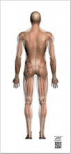 Transparent Muscle Chart P-A Life-Sized Collection