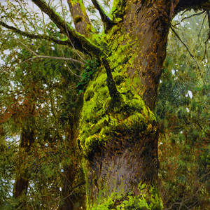 Moss Covered Maple - Timed Release has ended