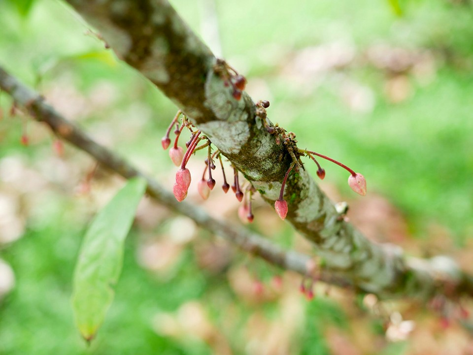 cocoa-tree-flowers-and-cocoa-pods.jpg