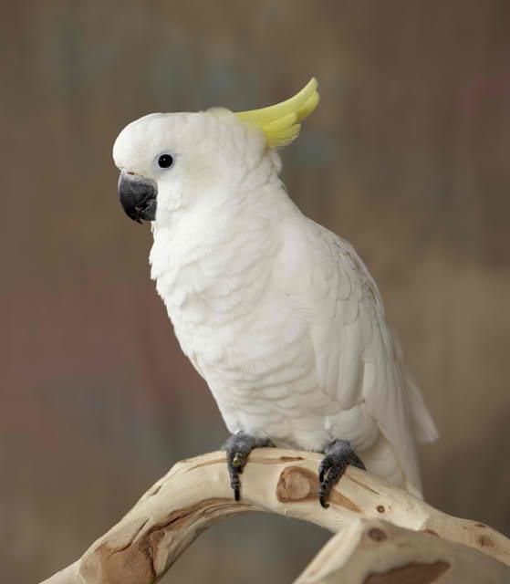 sulphur-crested-cockatoo.jpg