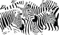 Wall Decals and Stickers - Many Zebras