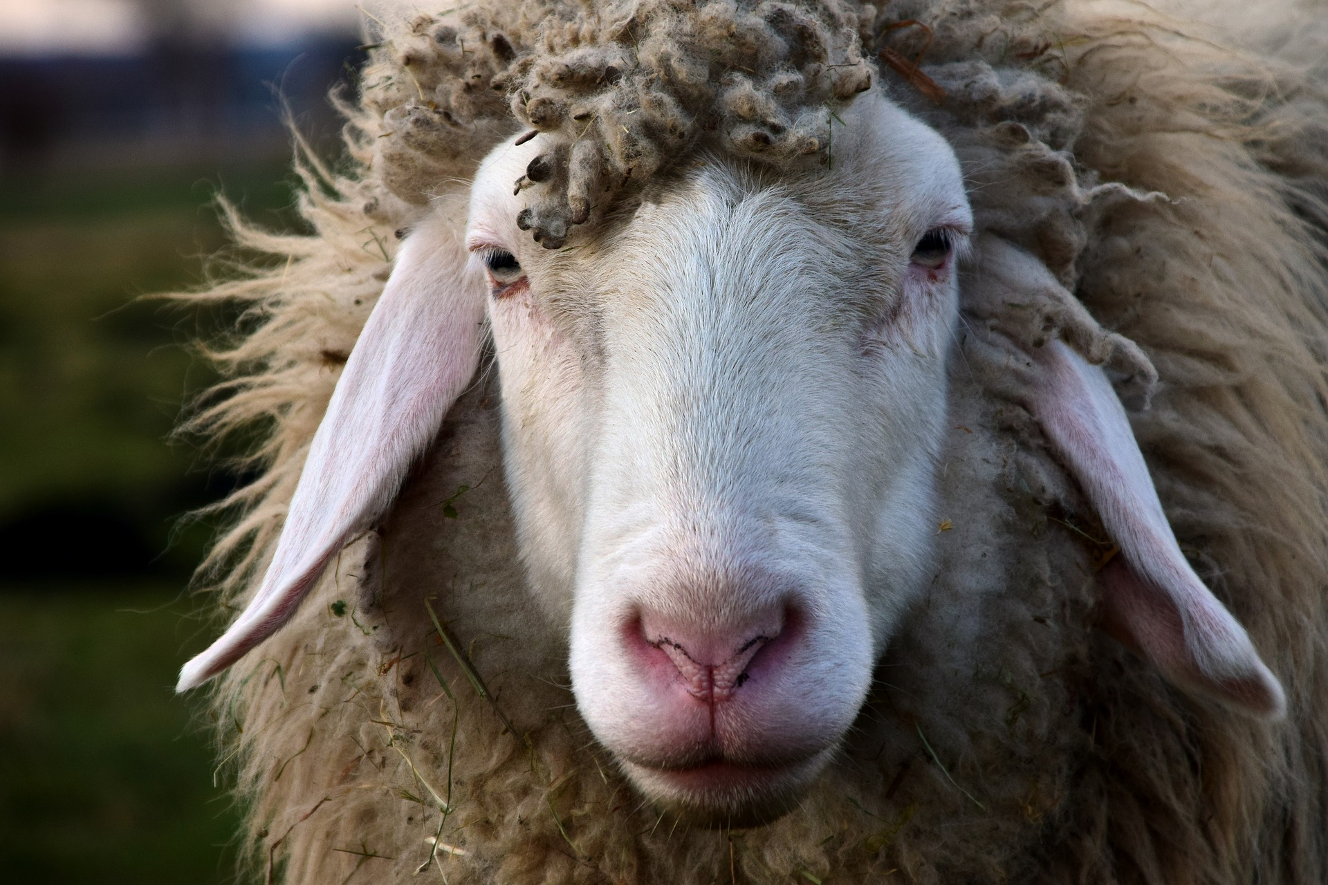 sheep-2166687-1920.jpg