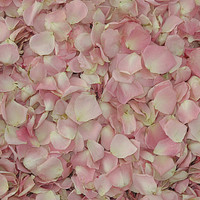 Lydia Petite Pink Preserved Freeze Dried Rose Petals