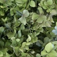 6 Hydrangea Preserved freeze Dried Hydrangea Petal