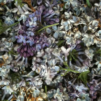 """""""BB"""" Lilac Preserved Freeze Dried Imperfect Petals Assorted 60 cups"""