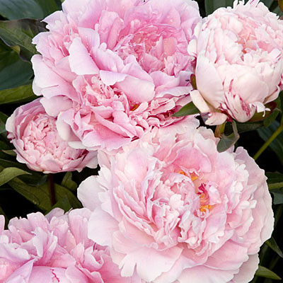 Sarah pink peony flowers 30 double bloom cut flowers this frame prevents backforward cache problems in safari mightylinksfo