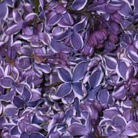 Unique Flower Petals & Blends: Sensation Preserved Freeze Dried Lilac Petals