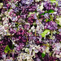 Assorted blend of eco-friendly, freeze dried lilac petals by Flyboy Naturals