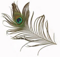 """Peacock Feather 12"""" """"CLOSEOUT"""""""