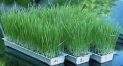 sprouter-easygreen-wheatgrass.jpg